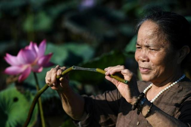 Phan Thi Thuan checks a lotus stem that will be processed into a rare type of silk at a pond in Hanoi