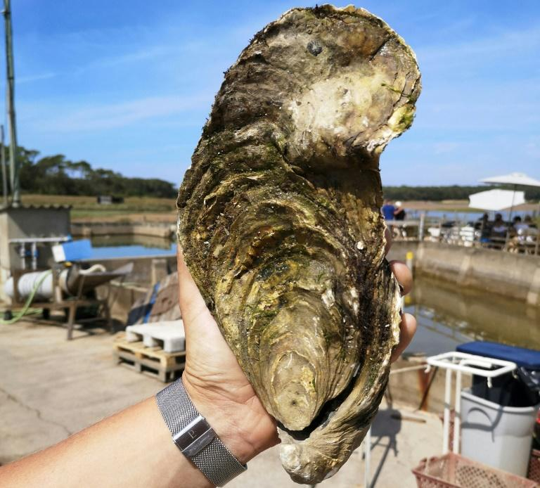 """Georgette"" the giant oyster weights in at 1.44 kilos and is believed to be 13-15 years old"
