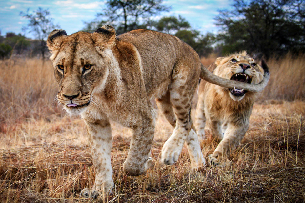 <p>The lioness no knowing what is about to happen as the lion goes to bite her tail at Antelope Park in Zimbabwe, Africa. (Photo: David Jenkins/Caters News) </p>