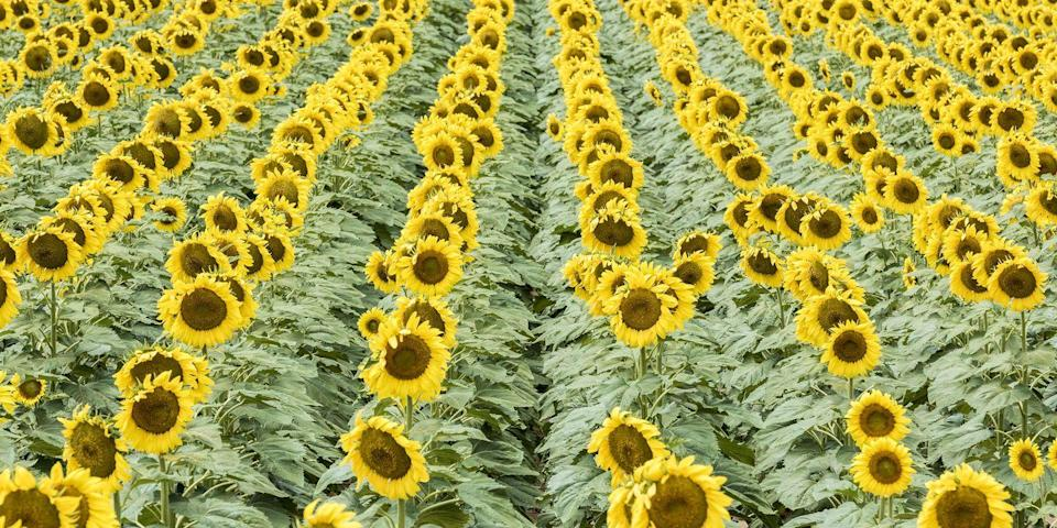 """<p>Spend your weekend taking in autumn's prettiest bloom at <a href=""""http://www.babbettesseedsofhope.com/"""" rel=""""nofollow noopener"""" target=""""_blank"""" data-ylk=""""slk:Babbette's Seeds for Hope Sunflower Maze"""" class=""""link rapid-noclick-resp"""">Babbette's Seeds for Hope Sunflower Maze</a> in Eau Claire, Wisconsin. Each autumn, this sunflower field welcomes visitors for wagon rides, flower picking, family photography, and fun in their annual maze. Once the flowers reach their peak, they're harvested and sold to raise money for hospitals and cancer research <a href=""""https://www.countryliving.com/life/a36200/babbettes-seeds-of-hope-sunflowers-wisconsin/"""" rel=""""nofollow noopener"""" target=""""_blank"""" data-ylk=""""slk:in honor of the farmer's late wife"""" class=""""link rapid-noclick-resp"""">in honor of the farmer's late wife</a>.</p><p><a class=""""link rapid-noclick-resp"""" href=""""https://go.redirectingat.com?id=74968X1596630&url=https%3A%2F%2Fwww.tripadvisor.com%2FTourism-g59843-Eau_Claire_Wisconsin-Vacations.html&sref=https%3A%2F%2Fwww.countryliving.com%2Flife%2Ftravel%2Fg21937858%2Fsunflower-fields-near-me%2F"""" rel=""""nofollow noopener"""" target=""""_blank"""" data-ylk=""""slk:PLAN YOUR TRIP"""">PLAN YOUR TRIP</a></p>"""