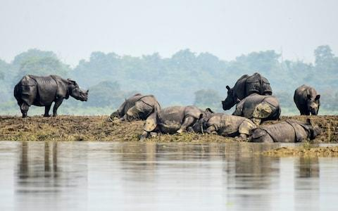 One-horned rhinos rest on a highland in the flood affected area of Kaziranga National Park in Assam - Credit: REUTERS/Anuwar Hazarika