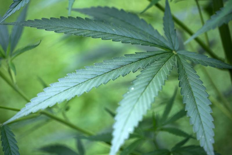 A cannabis plant grows in a garden in Cologne, Germany, July 15, 2014
