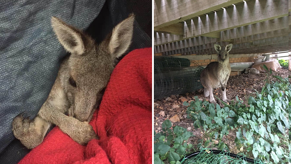 Branco the kangaroo was rescued close to the site and is now in care. Source: Supplied