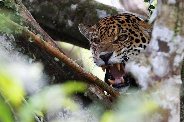 <p>A female adult jaguar, which has a cub, growls at the Mamiraua Sustainable Development Reserve in Uarini, Amazonas state, Brazil, June 5, 2017. (Photo: Bruno Kelly/Reuters) </p>