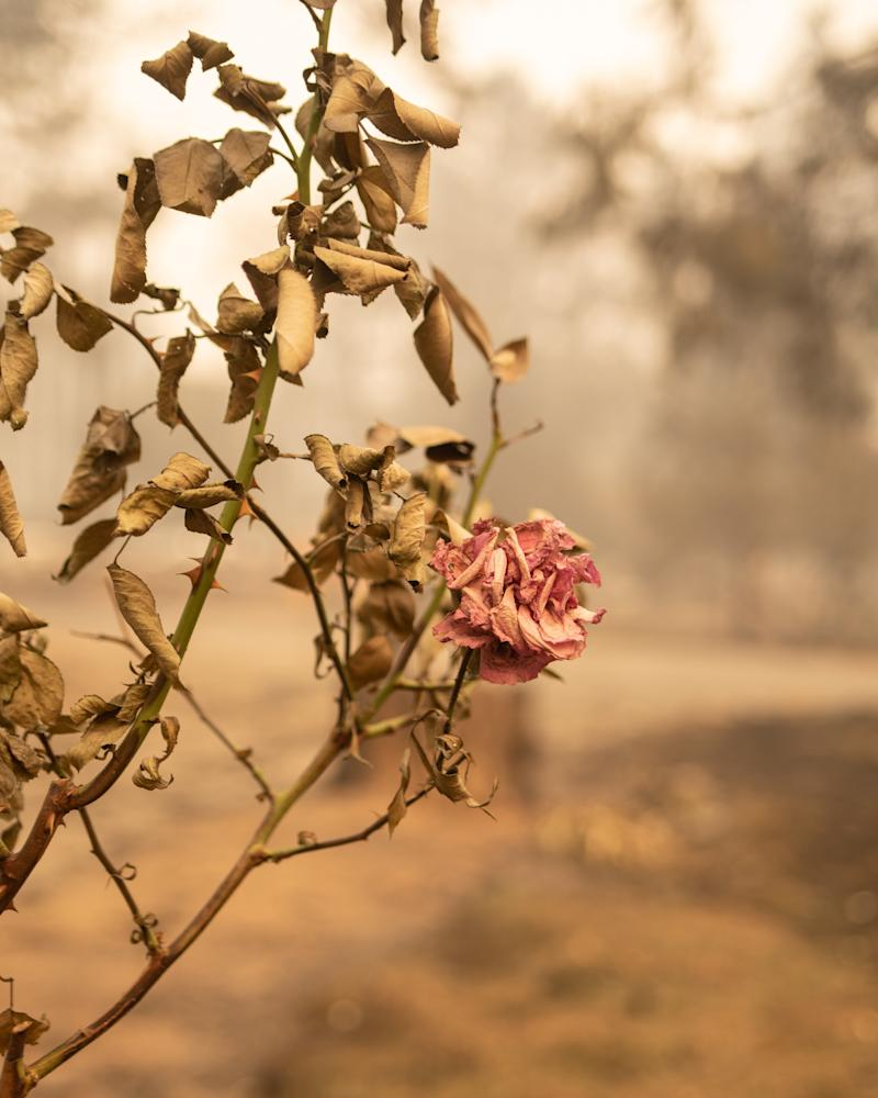 A rose bush burned by the Camp fire. (Cayce Clifford for HuffPost)