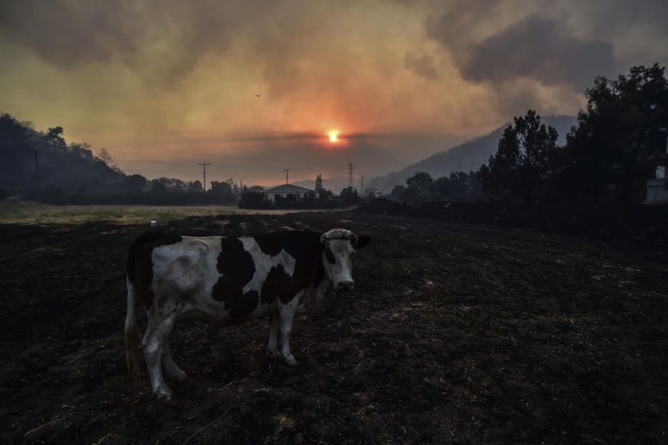 A cow stands by a fire that rages Hisaronu area, Turkey, Monday, Aug. 2, 2021. For the sixth straight day, Turkish firefighters battled Monday to control the blazes that are tearing through forests near Turkey's beach destinations. Fed by strong winds and scorching temperatures, the fires that began Wednesday have left eight people dead. Residents and tourists have fled vacation resorts in flotillas of small boats or convoys of cars and trucks. (AP Photo)