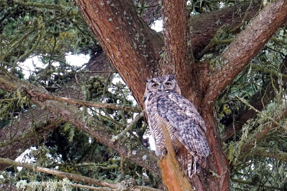 A great horned in a tree at Point Reyes National Seashore