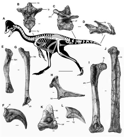 The new oviraptorosaurian dinosaur species Anzu wyliei is shown in this illustration courtesy of Scott Hartman, skeletaldrawing.com, surrounded by images of the individual bones courtesy of Mark Klingler, Carnegie Museum of Natural History. REUTERS/Scott Hartman, skeletaldrawing.com/Mark Klingler, Carnegie Museum of Natural History/Handout via Reuters