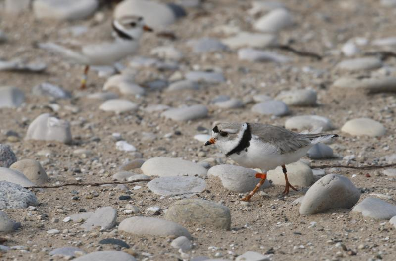 In this May 30, 2019 photo, a piping plover walks on the sand in Glen Haven, Mich. Trouble is brewing for the piping plovers, already one of the Great Lakes region's most endangered species, as water levels surge during a rain-soaked spring that has flooded large areas of the Midwest. (AP Photo/John Flesher)