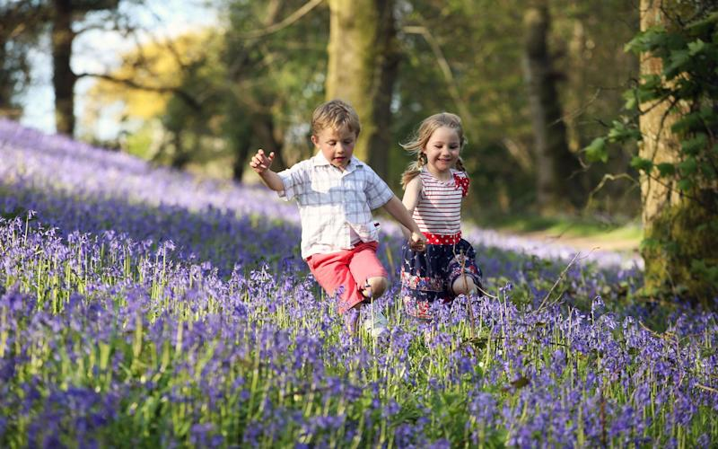 There are fewer bluebells spotted than last year  - Credit: Wales News Service