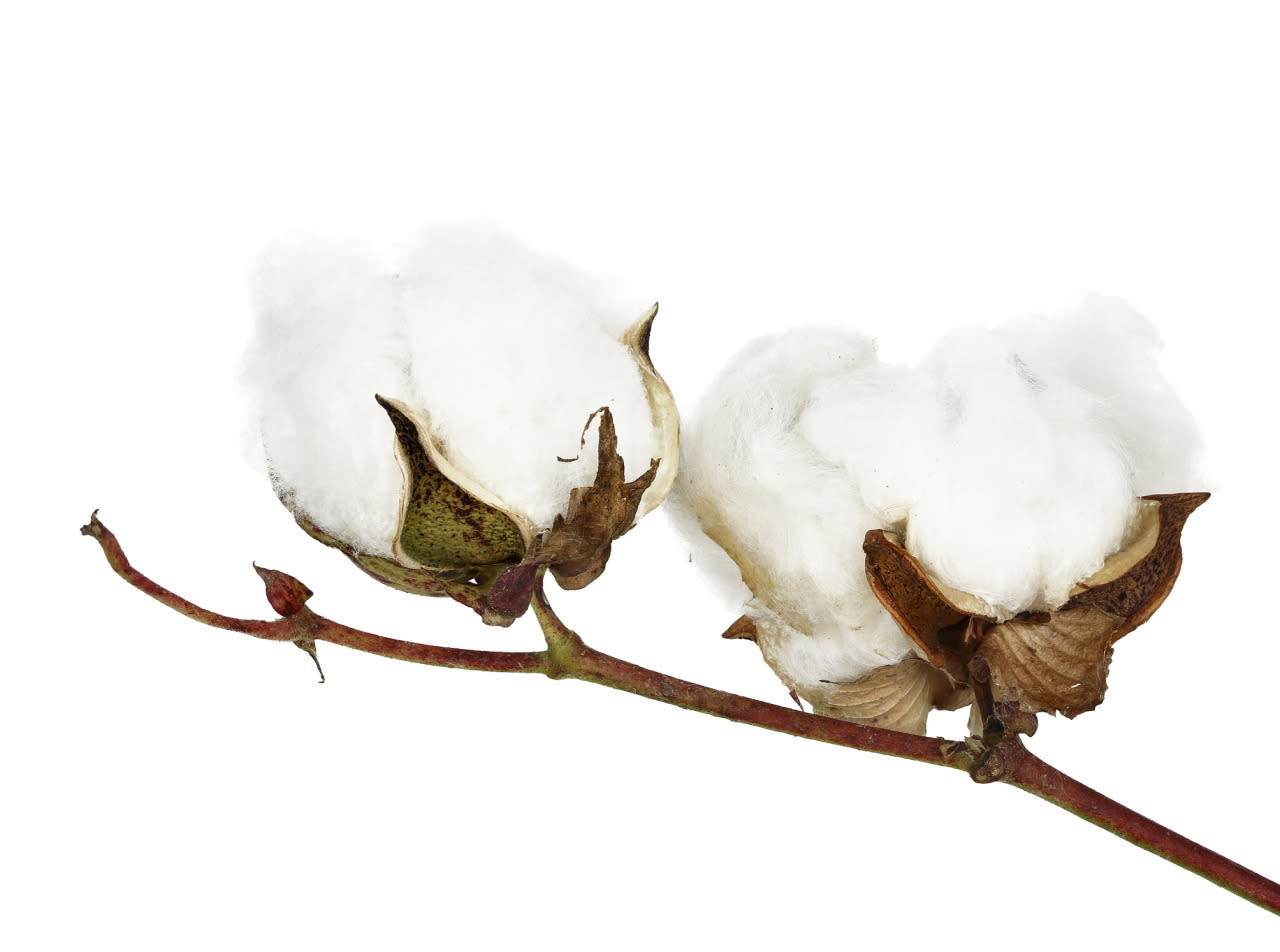 <p>Cottonseed is extracted from cotton plants and made into cottonseed oil.</p>