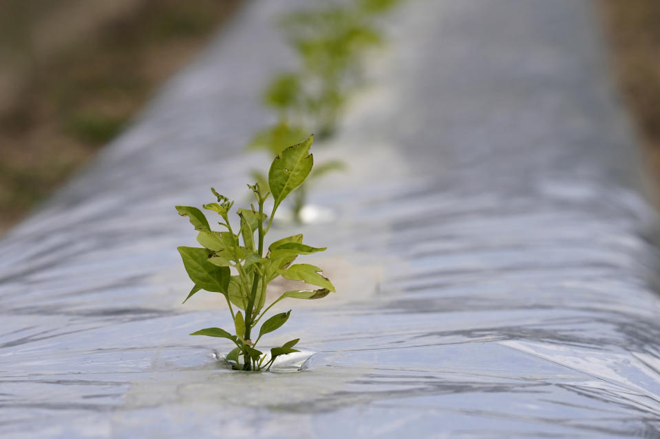 Pepper plants are grown for seed stock for Tabasco products at the McIlhenny Company on Avery Island, La., Tuesday, April 27, 2021. As storms grow more violent and Louisiana loses more of its coast, the family that makes Tabasco Sauce is fighting erosion in the marshland that buffers it from hurricanes and floods. (AP Photo/Gerald Herbert)