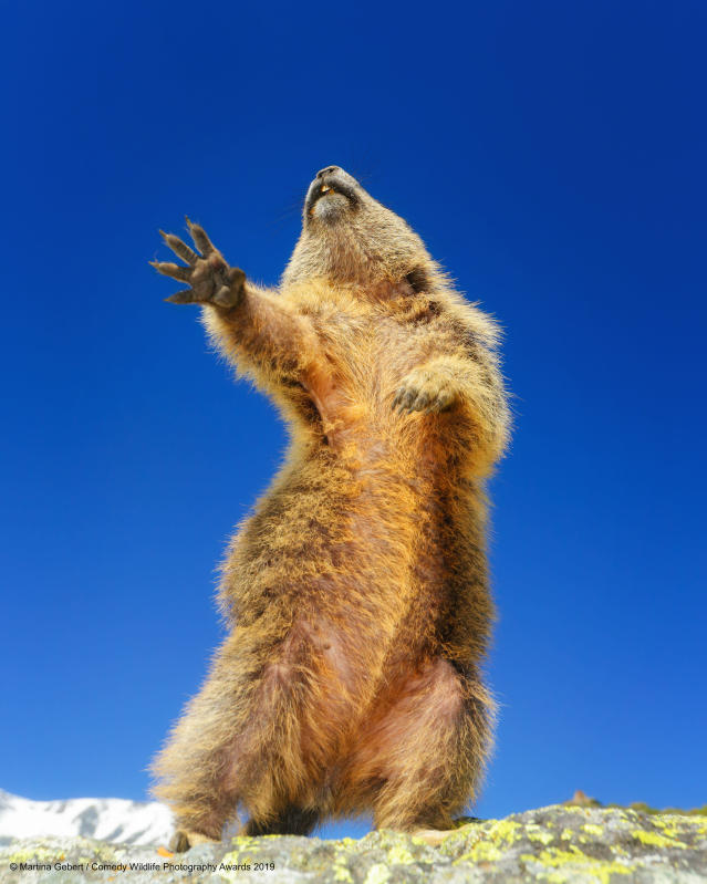 Una marmotta austriaca alle prese con un ballo ©Martina Gebert / Comedy Wildlife Photography Awards 2019