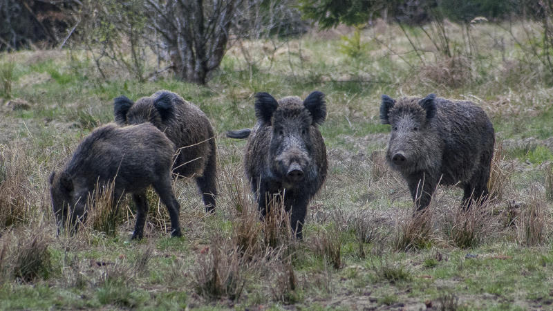 four wild boars in Romanian wild