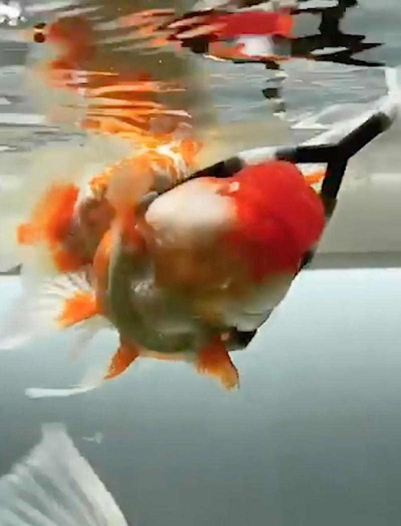 Many of Henry Kim's goldfish died due to swim bladder disorder, an ailment which makes them float upside down or sink to the bottom of their bowl (CATERS)