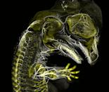 Alligator embryo developing nerves and skeleton (3rd) (Picture: Daniel Smith Paredes)