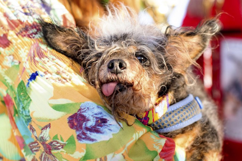 Meet Scamp the Tramp, The Winner of the World's Ugliest Dog Contest 2019