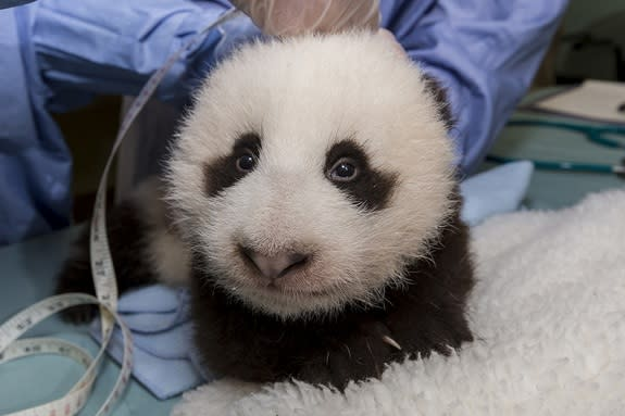 This photo was taken on Oct. 9, 2012 during the giant panda cub's exam at the San Diego Zoo. He was born on July 29, 2012.