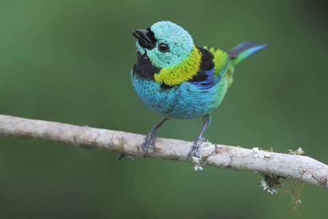 A colourful tanager - Credit: istock