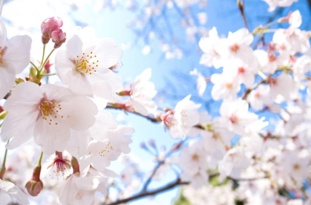 <p>Known as 'sakura'in Japanese, these pale blooms are a symbol of more than just spring -they stand for renewal and hope.</p>