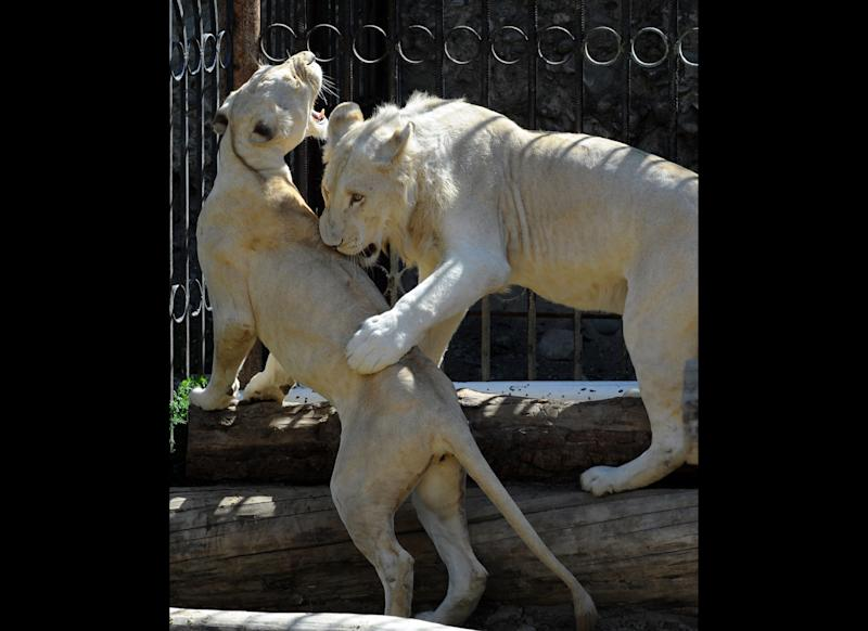 Young white lions Kleopatra (L) and Samuel (R) play in the zoo of Tbilisi on October 1, 2011. AFP PHOTO / VANO SHLAMOV (Photo credit should read VANO SHLAMOV/AFP/Getty Images)