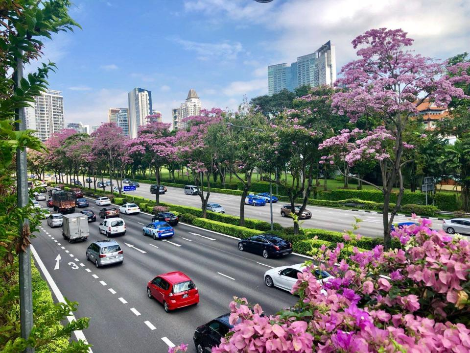 Trumpet trees flowering in Singapore along Central Expressway, near Moulmein Flyover. (PHOTO: National Parks Board)