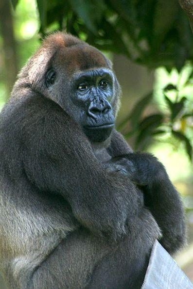 """<p><strong>Scientific classification:</strong> <em>Gorilla gorilla diehli</em></p><p><strong>Location:</strong> Nigeria</p><p>Gorillas are faring only slightly better than their Asian cousins. There are two species of gorilla—the Eastern and Western, populations separated by thousands of miles. But both are on the brink of extinction due to poaching, the pet trade, Ebola, deforestation, and human warfare. </p><p>The western gorilla is divided into subspecies, the western lowland gorilla and the Cross River gorilla. The western lowland has around 95,000 individuals—barely the population of Yuma, Arizona—while less than 300 Cross River gorillas remain. The Eastern gorilla is even more in peril, with 3,800 Eastern lowland gorillas and 880 mountain gorillas surviving.</p><p>Like the orangutan, the four gorilla subspecies are vastly intelligent species. Most gorillas held in captivity come from the western population. But even captive gorillas are facing big, big problems, as <a href=""""https://www.theatlantic.com/science/archive/2018/03/gorilla-guts/554636/"""" rel=""""nofollow noopener"""" target=""""_blank"""" data-ylk=""""slk:mysterious heart ailments"""" class=""""link rapid-noclick-resp"""">mysterious heart ailments</a> plague gorillas in zoos.</p>"""