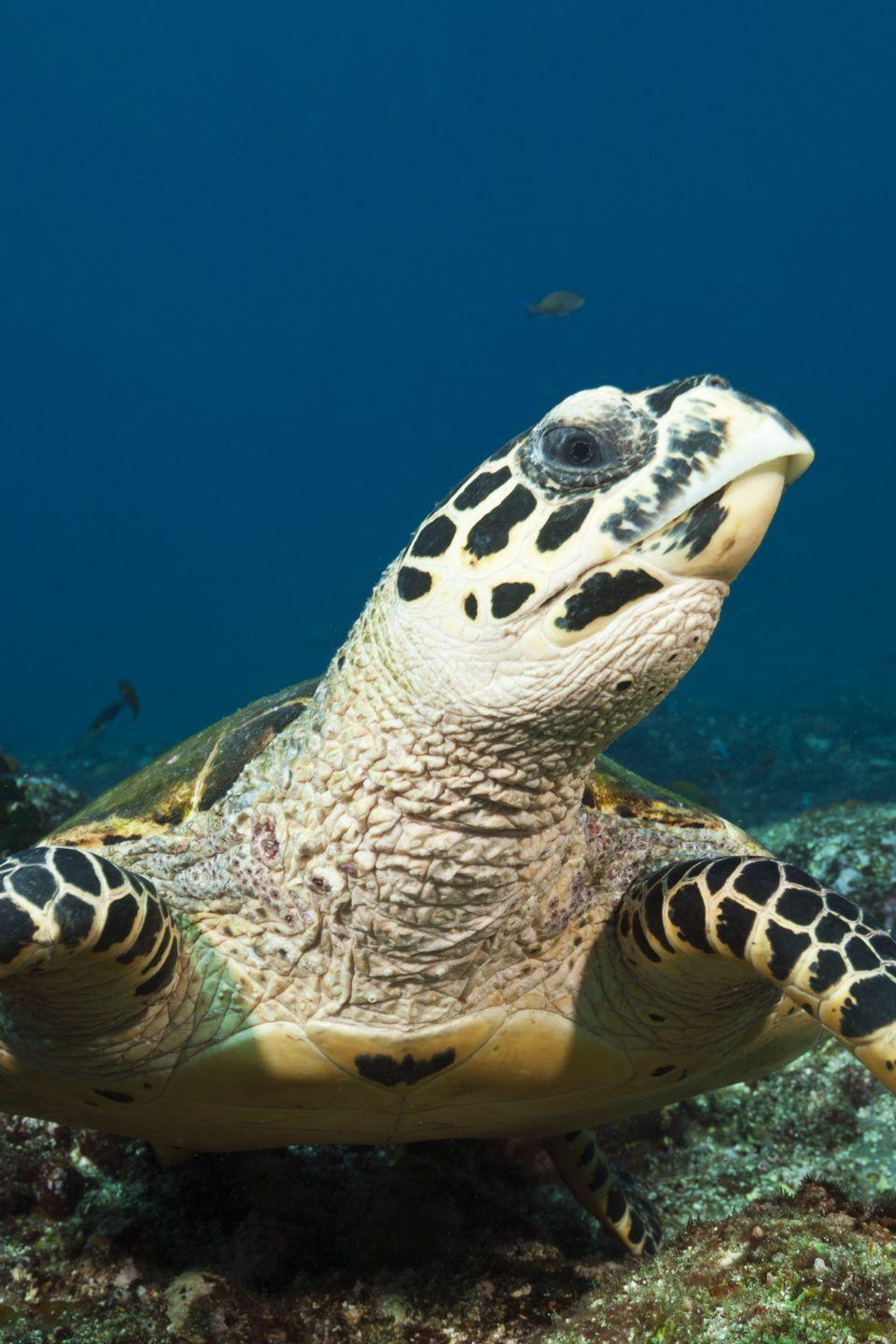 "<p><strong>Scientific classification: </strong><em>Eretmochelys imbricata</em></p><p><strong>Location:</strong> Worldwide</p><p>All sea turtles are threatened with extinction, but the Hawksbill Sea Turtle is the closest to the brink, followed by its cousin, the Kemp's ridley sea turtle.</p><p>The Hawksbill grows slowly and breeds rarely, which, coupled with human hunting, has driven the species to the brink. Only 15,000 egg-laying capable females remain distributed in a wide ranging area mostly across the southern hemisphere. The turtles are still, today, exploited for food and trinkets, putting wild populations continually in danger. One of the greatest culprits is the usage of its shell for <a href=""https://www.worldwildlife.org/species/hawksbill-turtle"" rel=""nofollow noopener"" target=""_blank"" data-ylk=""slk:&quot;tortoiseshell&quot;"" class=""link rapid-noclick-resp"">""tortoiseshell""</a> jewelry and keepsakes.</p>"