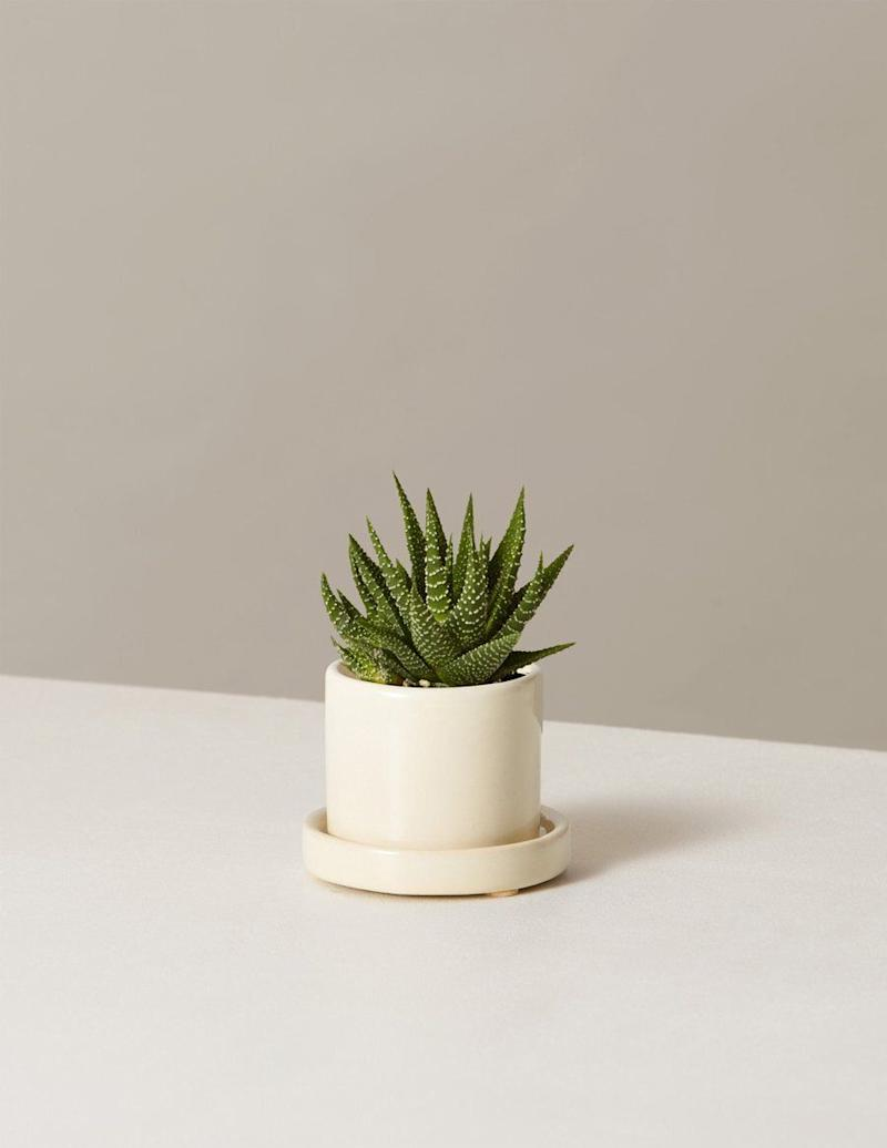 "If you're missing your work plant, you could always put this&nbsp;pet-friendly&nbsp;succulent in your home work space. <a href=""https://fave.co/2JejdLy"" target=""_blank"" rel=""noopener noreferrer"">Find the mini size for $27 at The Sill</a>.&nbsp;"