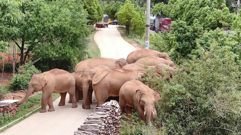 The migrating herd of elephants graze near Shuanghe Township, Jinning District of Kunming city in southwestern China's Yunnan Province (Yunnan Forest Fire Brigade)