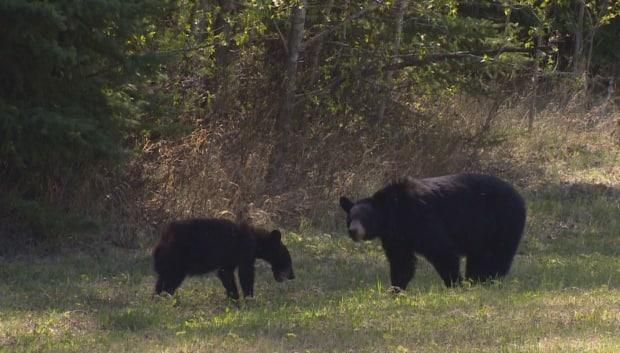 A black bear and her cub are shown near High Level, Alta. in May 2019.  (Trevor Wilson/CBC - image credit)