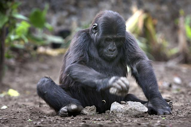 Recent years of war and chaos in Congo have depleted the population of the largest of the four gorilla subspecies.