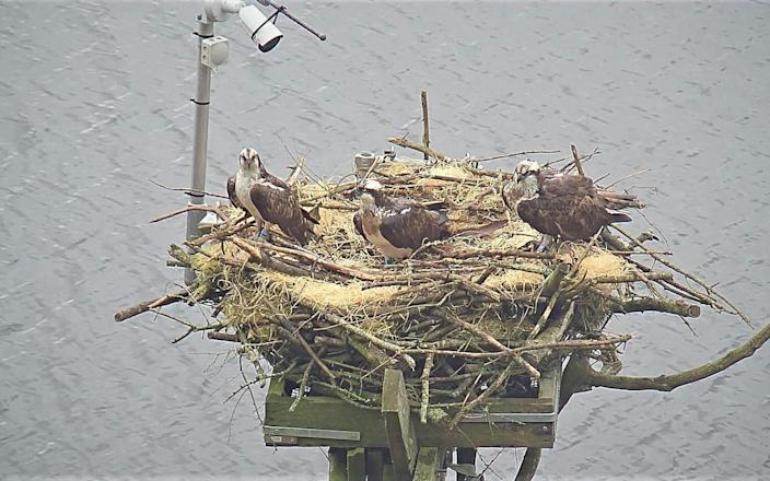 There are just five pairs of ospreys in Wales with the birds and eggs protected under the Wildlife & Countryside Act.  - Wales News Service