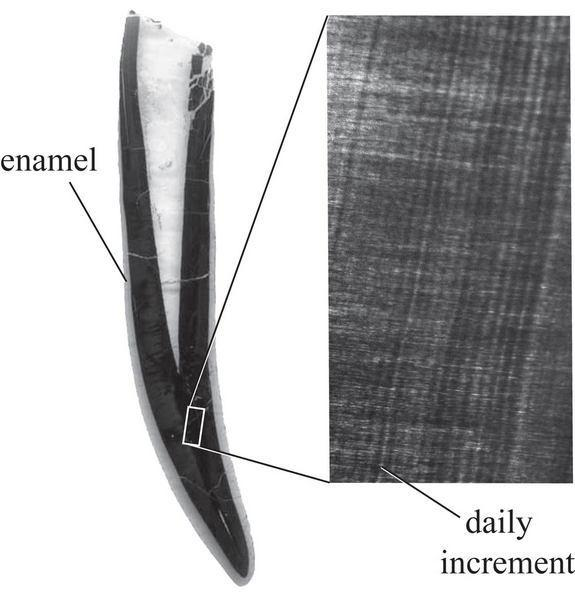 A cross-section of a Diploducus tooth, which is about half the width of a dime. The enlarged image is of dentin, the material that holds incremental lines. About five or six of these lines equal the width of a human hair.