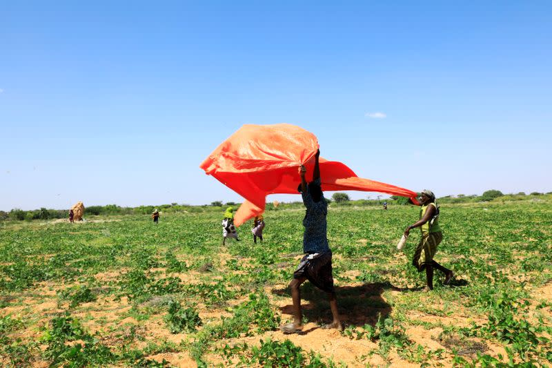 Somali farmers lift a plastic sheeting to fend off desert locusts in a grazing land on the outskirt of Dusamareb in Galmudug region