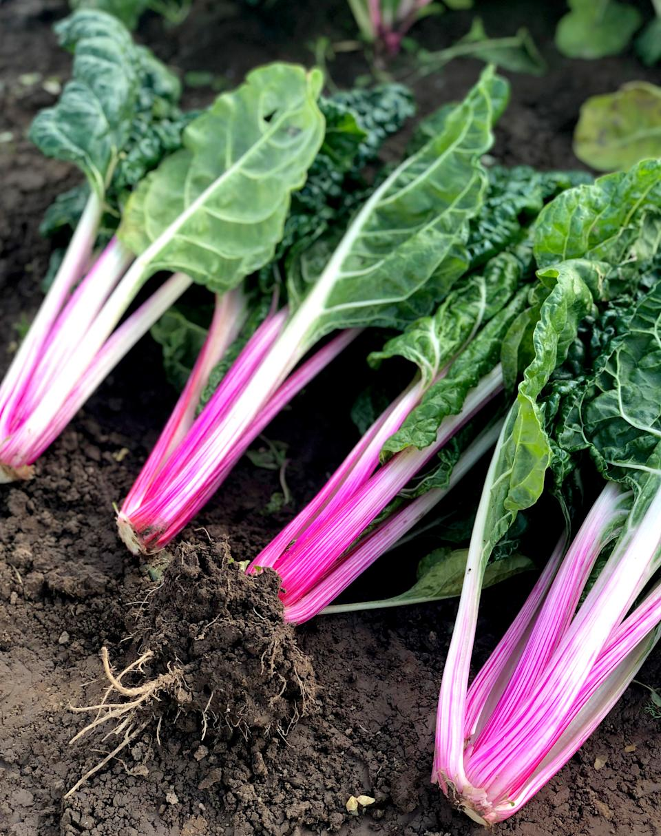 Garden trends: peppermint variety of swiss chard Suttons