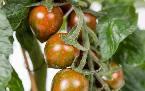 tomato 'Shimmer' - Credit: Sarah Cuttle / RHS