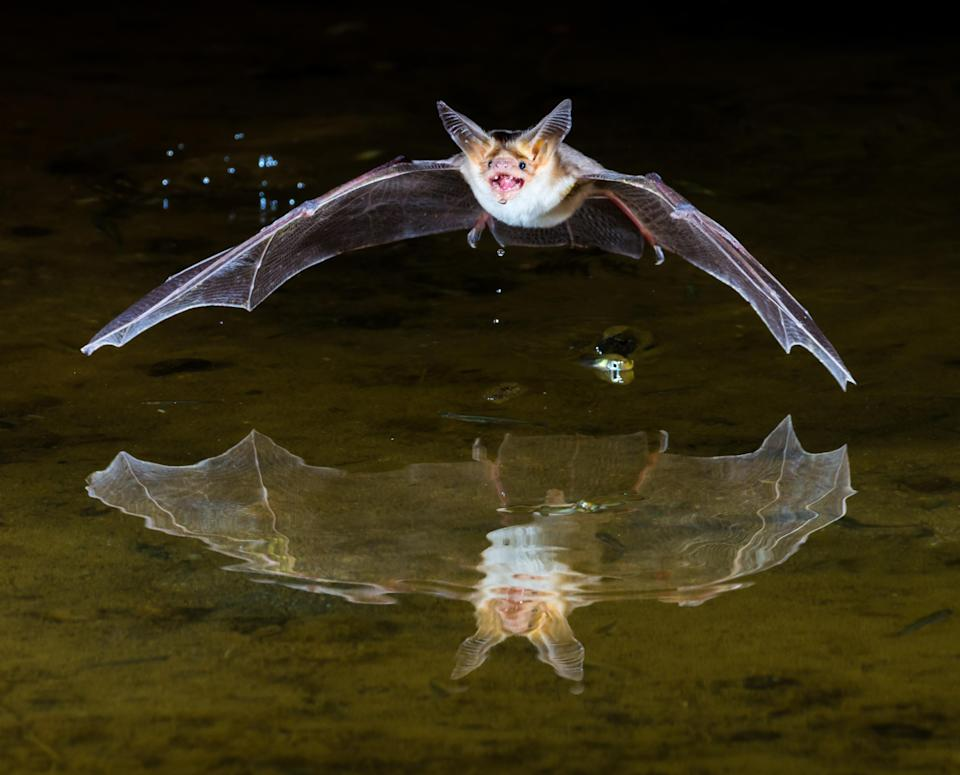 <p>A pallid bat swoops in for a drink just after dark. (Photo: Beth Ruggiero/Caters News) </p>