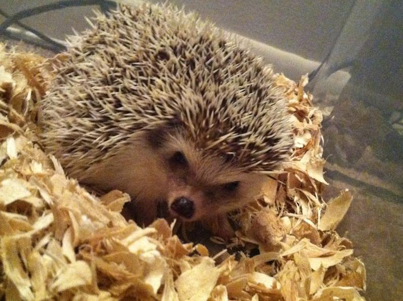 As Ellie the hedgehog exercised, she logged steps on her owner's pedometer. (Photo: Courtesy of Rachel )