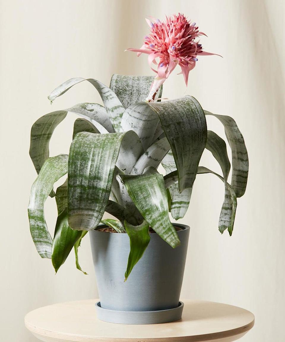 <p>Looking for a big, tall flower to add some color to your space? This <span>Bromeliad</span> ($99) plant is exactly what you need.</p>
