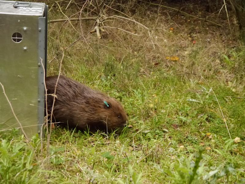 The two beavers were brought from Scotland and released in the enclosure in Norfolk (Wild Ken Hill)