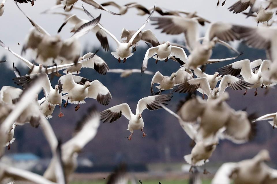Snow geese land in a farm field at their winter grounds  in the Skagit Valley near Conway, Wash. More than 50,000 of the birds flock annually to the valley, after migrating from the Arctic tundra. The birds are up to 33 inches tall with a wingspan of over four feet. (Photo: ASSOCIATED PRESS)