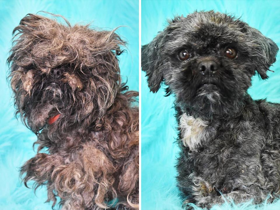 """<p><a href=""""https://sequoiahumane.org/"""" rel=""""nofollow noopener"""" target=""""_blank"""" data-ylk=""""slk:Sequoia Humane Society"""" class=""""link rapid-noclick-resp"""">Sequoia Humane Society</a> in Eureka, California, pulled Chloe from a high-kill shelter and found that the pup was so matted she could barely see through the fur covering her face. After hours of careful grooming, Chole's true (and cute) form emerged. </p>"""