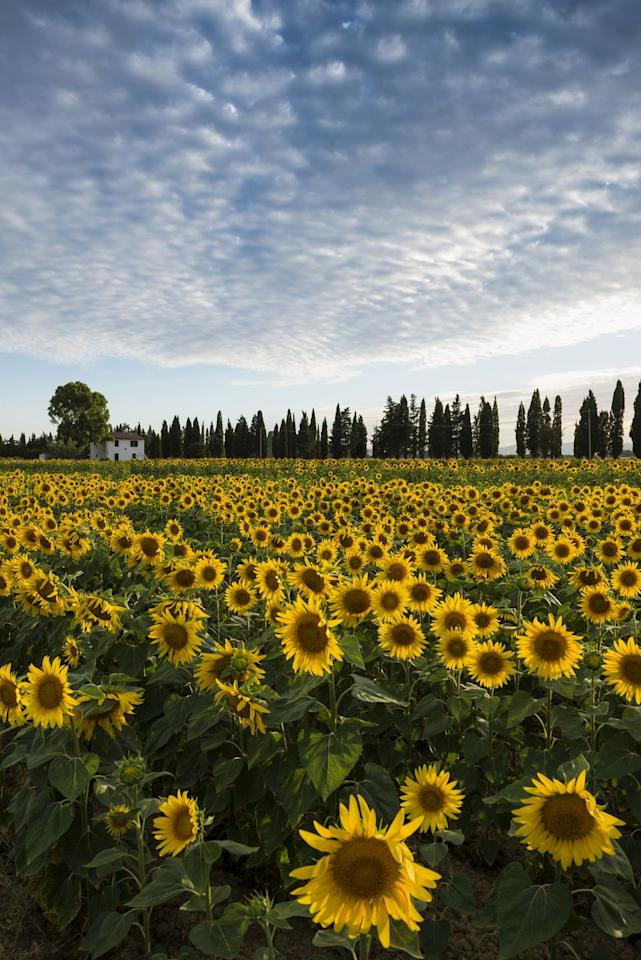 <p>Sunflower season is here! Take your kids to a farm to see the breathtaking flowers in full bloom while you can.</p>
