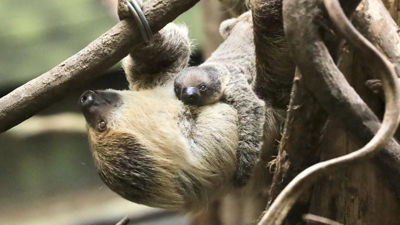 'Inquisitive' baby two-toed sloth born at London Zoo