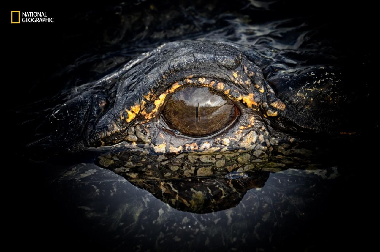 <p>An alligator stays perfectly still, watching the surrounding waters for signs of prey. (Nancy Elwood/2016 National Geographic Nature Photographer of the Year)</p>