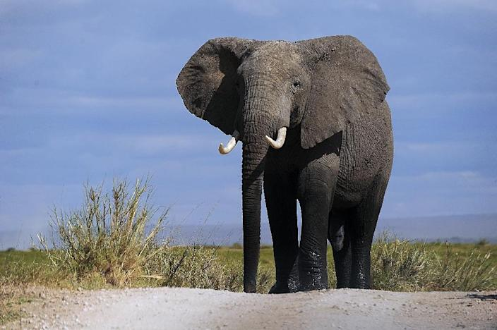 More than 30,000 elephants are killed every year to satisfy demand for ivory in China and the Far East, where tusks are worth more than $2,000 a kilogramme. It is estimated that there are between no more than 470,000 elephants left in Africa (AFP Photo/Tony Karumba)