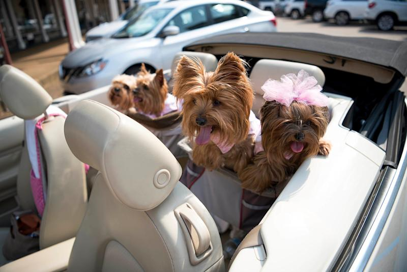 Barbie Gates, a pet nanny, takes some dogs for a ridein the back of her Volkswagon Beetle.
