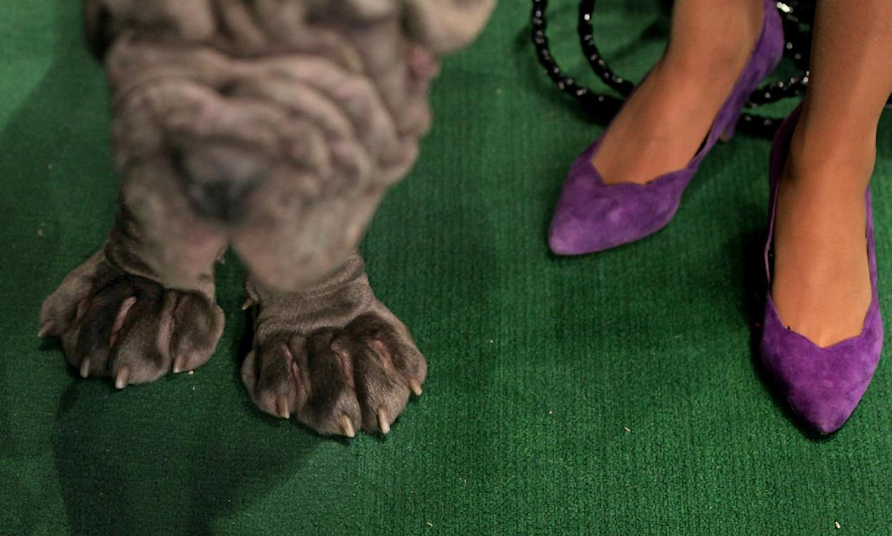 Neapolitan mastiff Trinity, left, of Ontario, Canada, waits for judging as people stand nearby at the 136th annual Westminster Kennel Club dog show, Tuesday, Feb. 14, 2012, in New York. (AP Photo/Craig Ruttle)