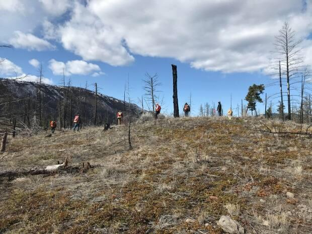 Archeologists of Skeetchestn Natural Resources, the economic development division of the Skeetchestn Indian Band, surveying the Back Valley, one of the areas ravaged by the 2017 Elephant Hill wildfire in B.C.'s southern Interior.  (Doug Herbert/CBC - image credit)